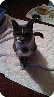 Domestic Shorthair Cat for adoption in Trenton, New Jersey - Cameo (KNR)