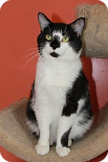 Domestic Shorthair Cat for adoption in Erwin, Tennessee - Higgins