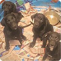 Adopt A Pet :: Black Lab Pups - Pompton Lakes, NJ