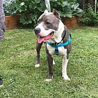 Adopt A Pet :: Hank - Villa Park, IL