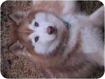 Siberian Husky Dog for adoption in North Wilkesboro, North Carolina - Skylar