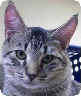 Domestic Shorthair Cat for adoption in Annapolis, Maryland - Aesop