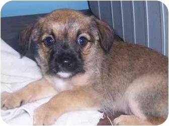 Dachshund/Dachshund Mix Puppy for adoption in Bristow, Oklahoma - Hemy