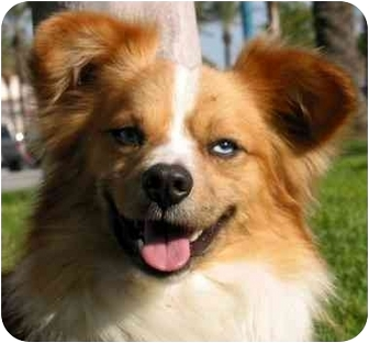 Papillon/Corgi Mix Dog for adoption in Phelan, California - FRANKY BLUE EYES