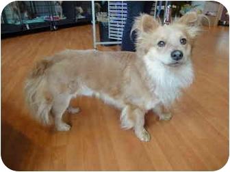 Corgi Mix Dog for adoption in Sherman Oaks, California - Socrates