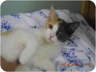 Domestic Shorthair Kitten for adoption in Manalapan, New Jersey - Oragami