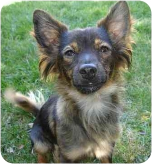 Pomeranian/Chihuahua Mix Dog for adoption in petaluma, California - Monty