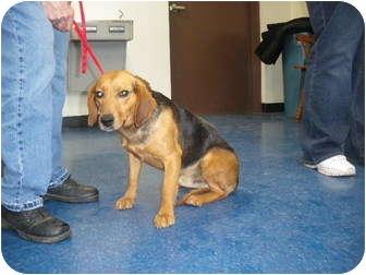 "Beagle Mix Dog for adoption in MARION, Virginia - ""Tim"""