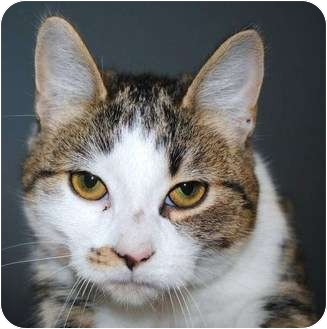 Domestic Shorthair Cat for adoption in Yuba City, California - Unknown Sex - Charlie