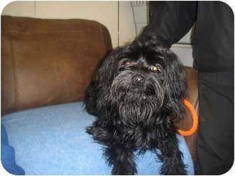 Lhasa Apso Mix Dog for adoption in Barron, Wisconsin - Elmer