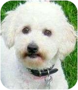 Bichon Frise/Poodle (Miniature) Mix Dog for adoption in Wakefield, Rhode Island - JASPER(SO TINY-SO ADORABLE!!!)