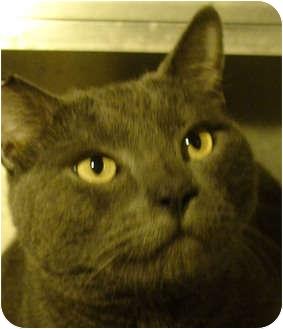 Domestic Shorthair Cat for adoption in El Cajon, California - Dylan