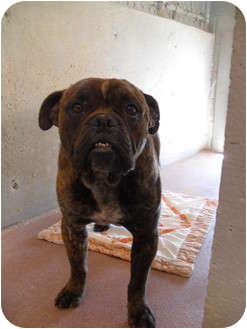 American Bulldog Mix Dog for adoption in Jerome, Idaho - Melvin