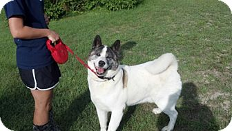 Akita Dog for adoption in Toms River, New Jersey - Duke