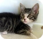 Domestic Mediumhair Kitten for adoption in Red Bluff, California - Zeb