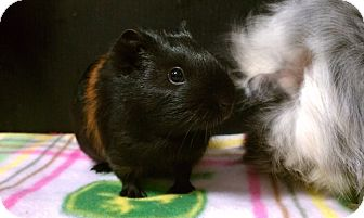 Guinea Pig for adoption in Fullerton, California - Millie