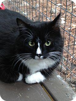 Munchkin Cat for adoption in Monroe, Georgia - Purrcilla
