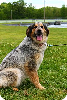 Australian Cattle Dog/Border Collie Mix Dog for adoption in Linden, Tennessee - Meatloaf