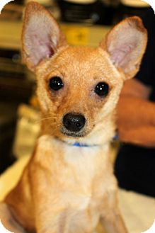Chihuahua Mix Puppy for adoption in Salem, New Hampshire - PUPPY BISCUIT