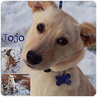 Golden Retriever/Husky Mix Puppy for adoption in Garden City, Michigan - JoJo