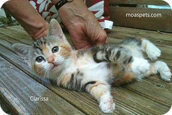 Domestic Shorthair Kitten for adoption in Danielsville, Georgia - Clarissa