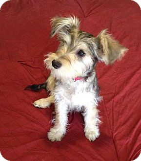 Miniature Schnauzer Mix Puppy for adoption in Chula Vista, California - Zoey