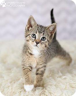 Domestic Shorthair Kitten for adoption in Plymouth, Minnesota - Kamba