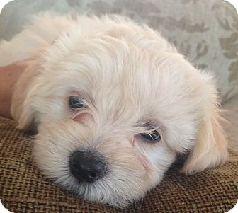 Cockapoo/Terrier (Unknown Type, Small) Mix Puppy for adoption in Encino, California - Pumpkin - Muffin pup