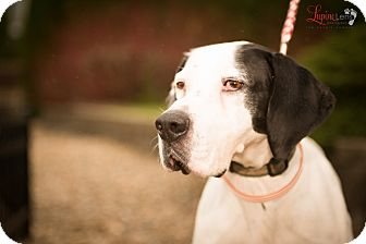 English Pointer/Pointer Mix Dog for adoption in Wood Dale, Illinois - Peyton- Adoption Pending.