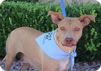 German Shepherd Dog/American Pit Bull Terrier Mix Dog for adoption in Las Vegas, Nevada - CHICA