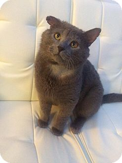 Russian Blue Cat for adoption in THORNHILL, Ontario - (Babe) Lincoln