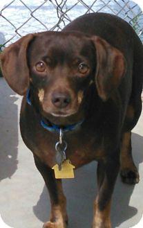 Dachshund Mix Dog for adoption in Chino Valley, Arizona - Franco/Fritz