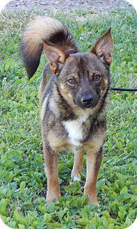 Shiba Inu/Shepherd (Unknown Type) Mix Puppy for adoption in Niagara Falls, New York - Ziggy(10 lb) GREAT Family Pet!