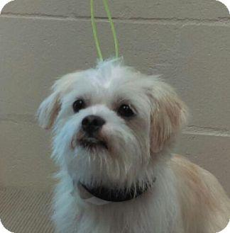 Shih Tzu/Silky Terrier Mix Dog for adoption in Sanford, Florida - Carrey