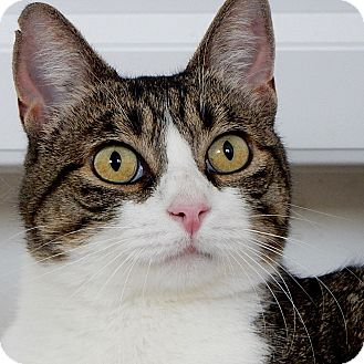 Domestic Shorthair Cat for adoption in Long Beach, New York - Moscow
