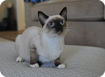 Siamese Cat for adoption in Bend, Oregon - Franchesca