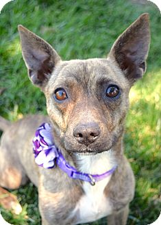 Terrier (Unknown Type, Small) Mix Dog for adoption in Dublin, California - Ducky