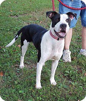 American Pit Bull Terrier Mix Dog for adoption in Somonauk, Illinois - Macy