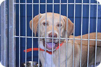 Labrador Retriever Mix Dog for adoption in Henderson, North Carolina - Brian