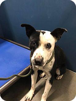 Labrador Retriever Mix Dog for adoption in Henderson, North Carolina - Bruce