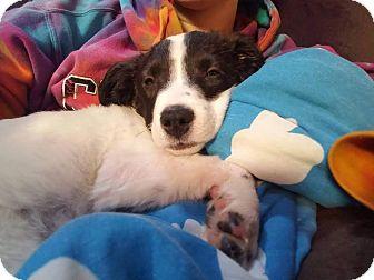 Pointer Mix Puppy for adoption in DeForest, Wisconsin - Sabina