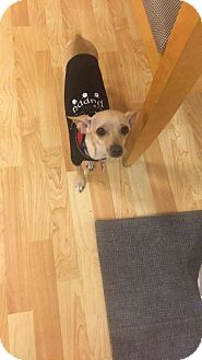 Chihuahua/Dachshund Mix Dog for adoption in Valencia, California - Peter