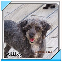 Terrier (Unknown Type, Small) Mix Dog for adoption in San Antonio, Texas - Willow