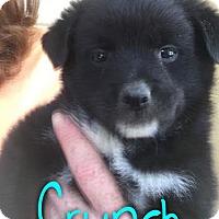 Adopt A Pet :: Cruch - Garden City, MI