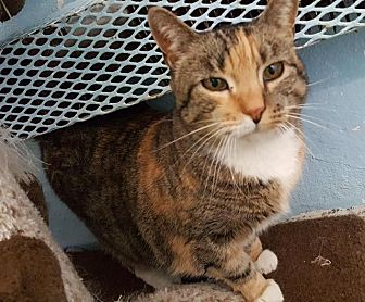 Domestic Shorthair Cat for adoption in Freeport, New York - Ophelia (Laurel)