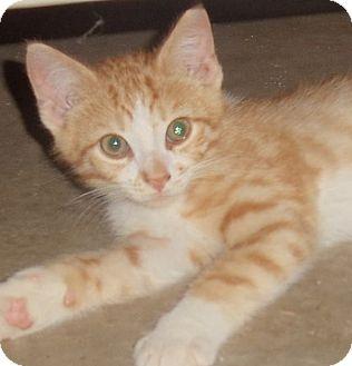 Domestic Shorthair Kitten for adoption in Evans, West Virginia - Parker