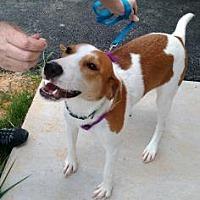 Adopt A Pet :: Iggy - Lexington, MA
