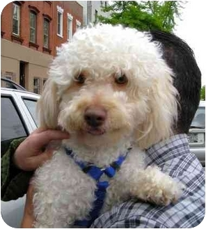 Poodle (Miniature) Dog for adoption in Brooklyn, New York - Bam Bam