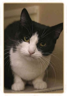 Domestic Shorthair Cat for adoption in Sterling Heights, Michigan - Penny - ADOPTED!