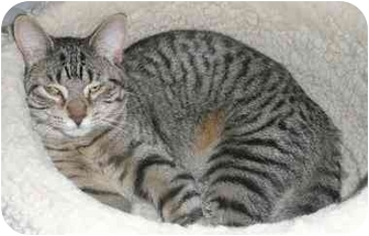 Domestic Shorthair Cat for adoption in Sheboygan, Wisconsin - Elise